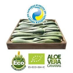 5 Kg of Aloe Vera Organic Leaves Penca Zabila 7-10 y/o
